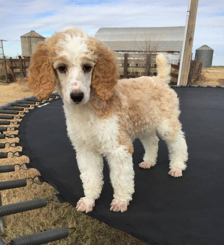 Commander - Litter of Sadie & Toga - Fall 2014 (Std AKC poodle)